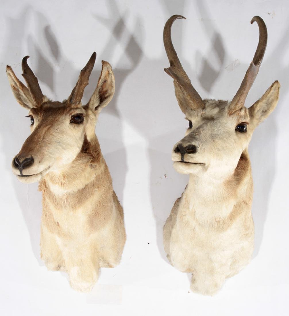 LOT OF 2 TAXIDERMY MOUNTED ANTELOPE