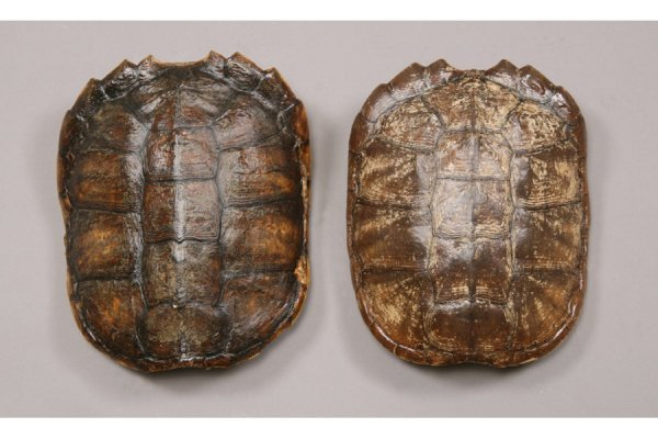 161: Pair of turtle shell wall sconces.