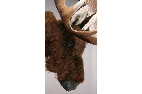 470: A mechanical talking moose head mount. - 3