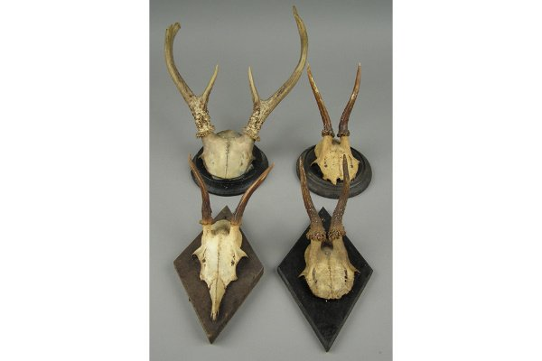 50101008: LOT OF 21 SMALL BLACK FOREST ANTLERS. ONE DAT