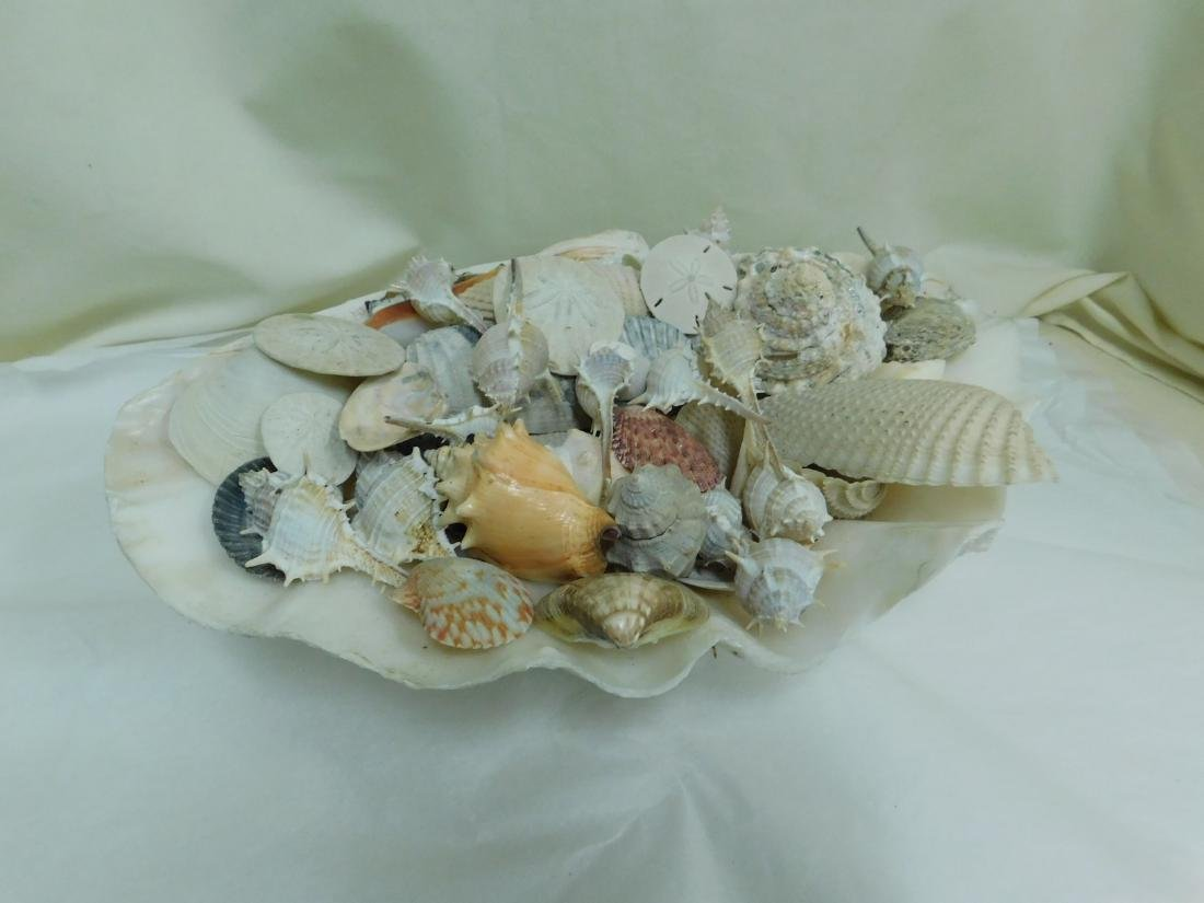 COLLECTION OF SEASHELLS - 3