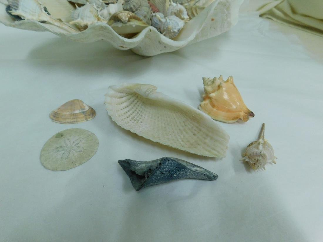 COLLECTION OF SEASHELLS - 4