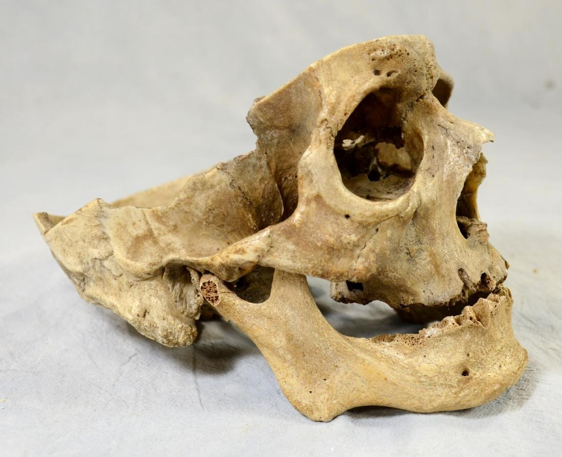 Real Human Skull for Medical Use w/ Lower Jaw sans - 3