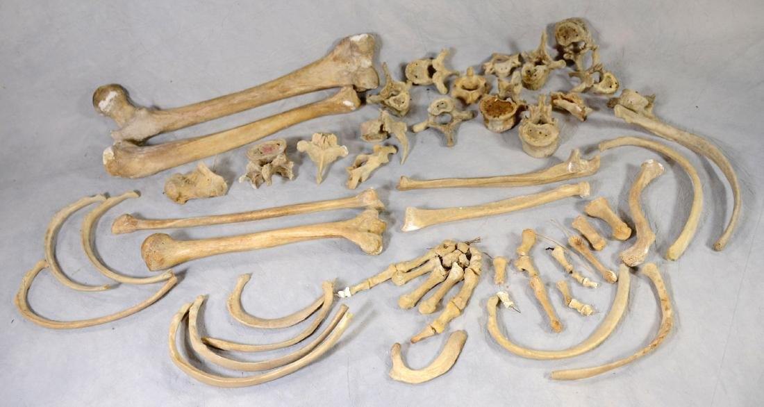 Real Human Bones  Non articulated  For Medical Use /