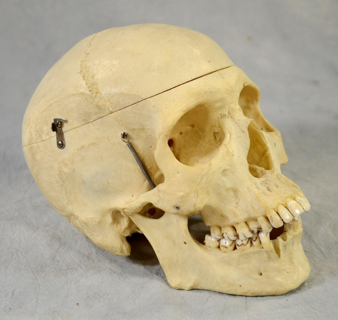 Real Human Skull for Medical Use w/ Fully Articulated