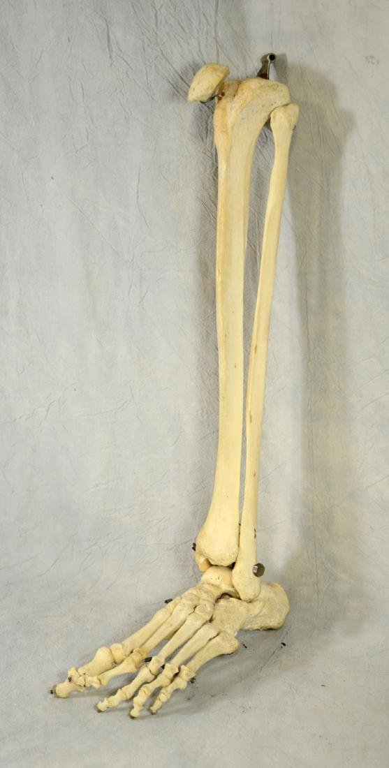 Real Human Lower Leg and Foot Bones Fully Articulated
