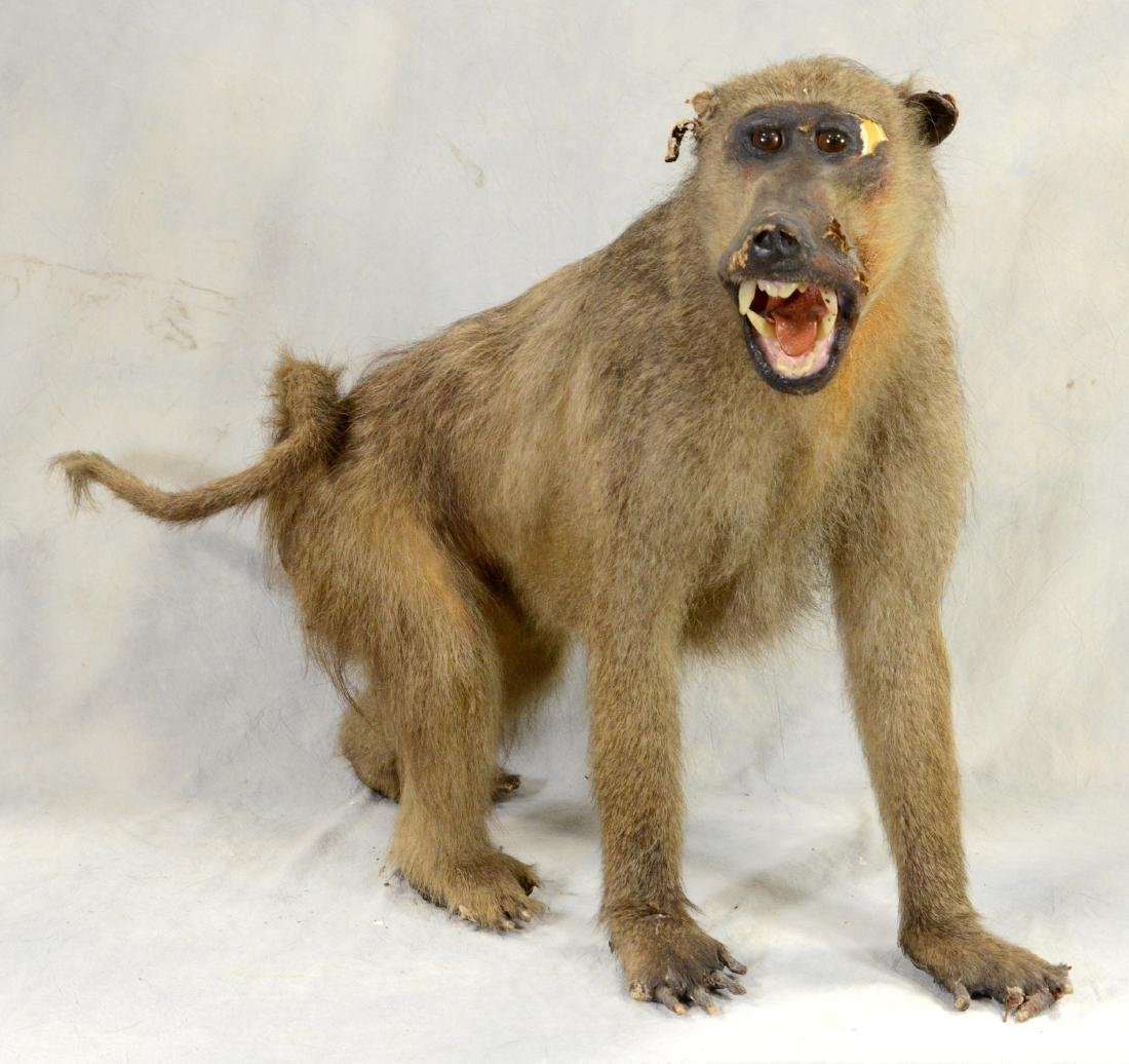 African Baboon Full Body Mount  AS IS