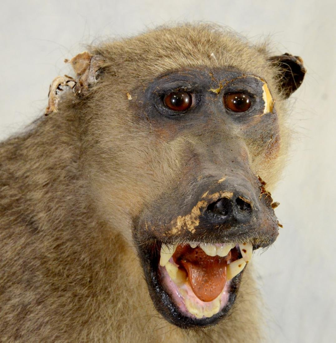 African Baboon Full Body Mount  AS IS - 2