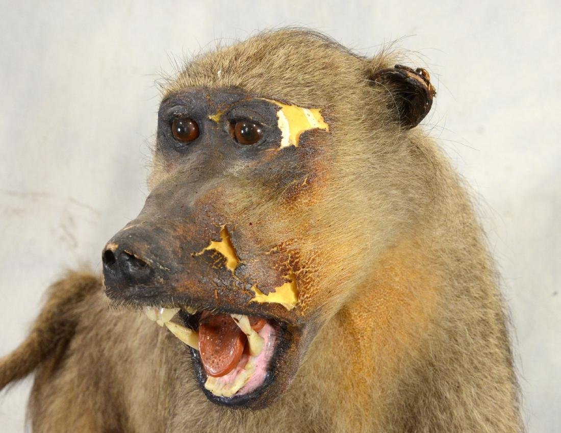 African Baboon Full Body Mount  AS IS - 4