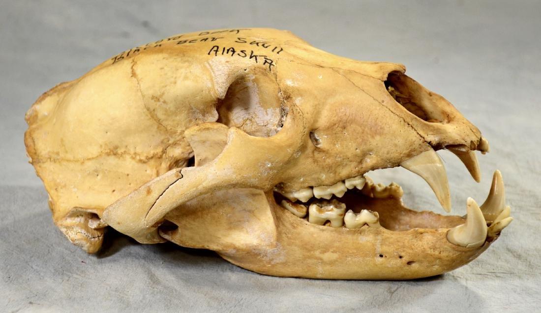 Huge Black Bear Skull w/ Lower Jaw  Record book size