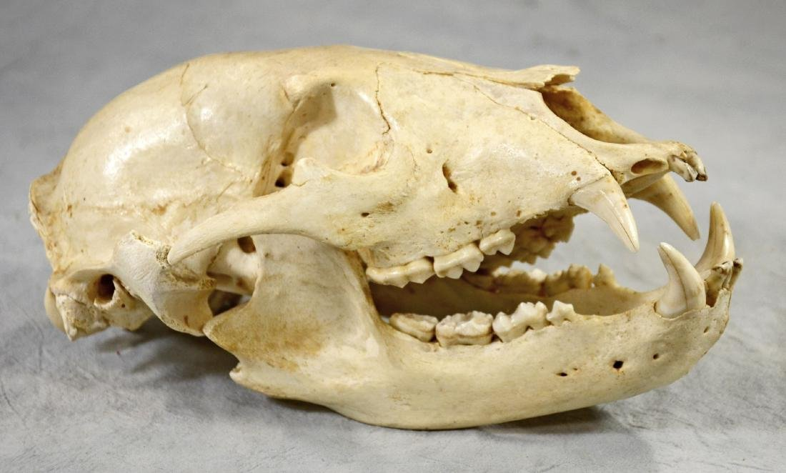 Large Grizzly Bear Skull Professionally Prepared w/