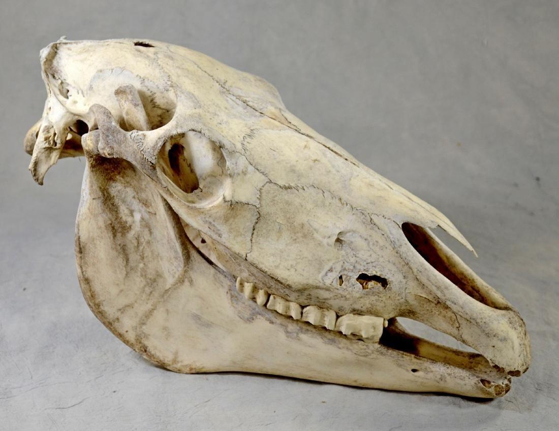 Horse Skull w/ Lower Jaw