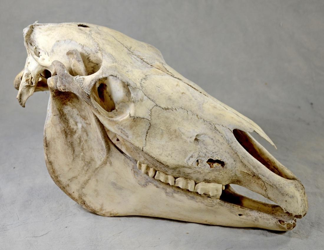 Horse Skull w/ Lower Jaw - 2