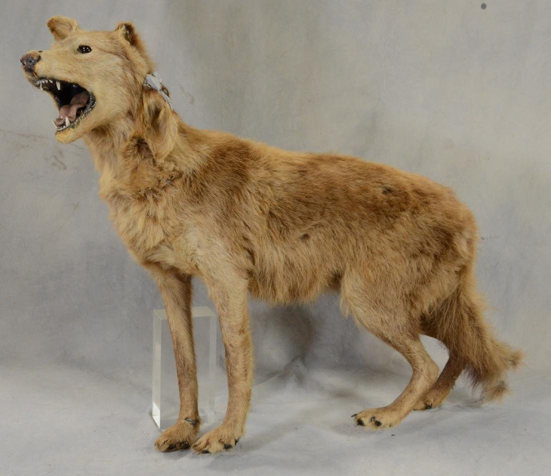 Coyote Full Body Mount  Canis Latrans    AS IS