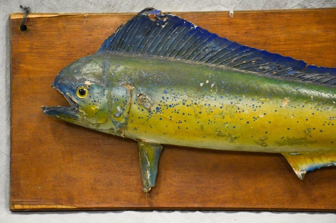 Edwardian Cased Stuffed Trout  c1910  HUGE  Taxidermy, - 3