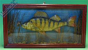 Taxidermy – Cased Fish – Perch with natural...