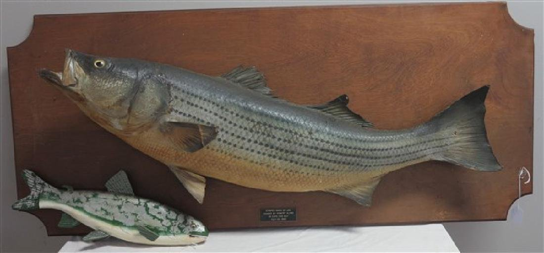 Taxidermy Striped Bass & Bait Fish