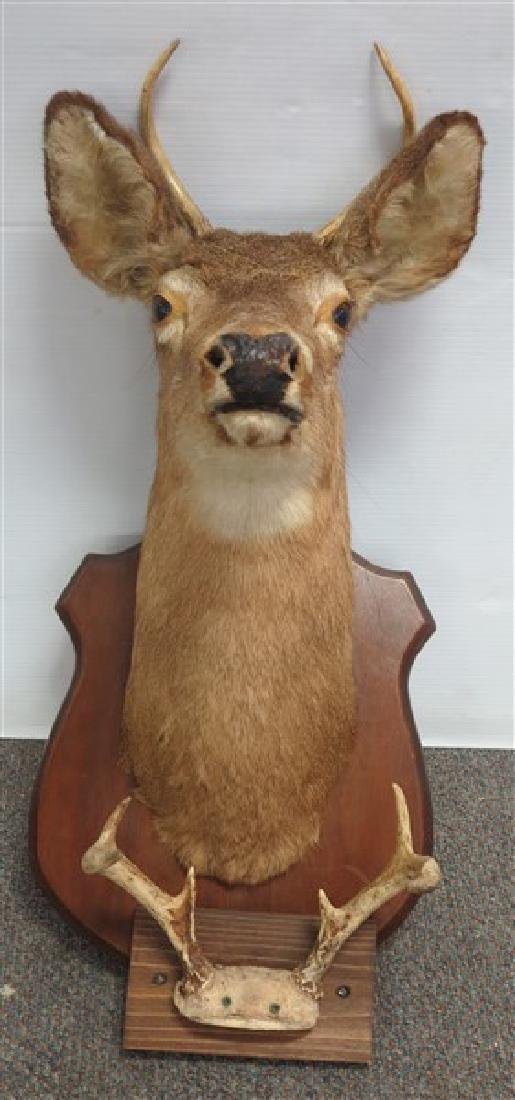 Taximdermy deer mount and antlers