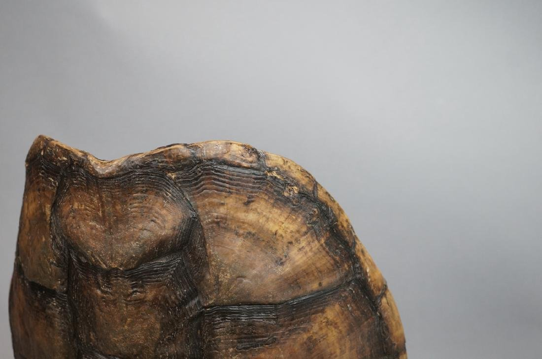Natural Tortoise Shell Table Lamp. Natural shell - 6