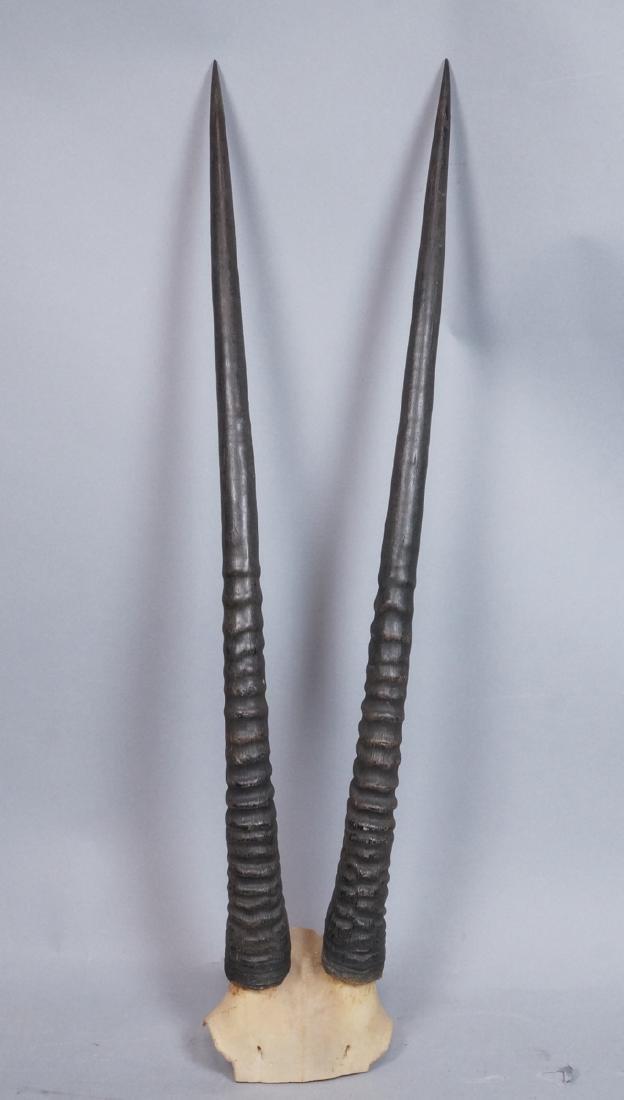 Pr Real Antelope Horns. Long Dark Ribbed forms wi