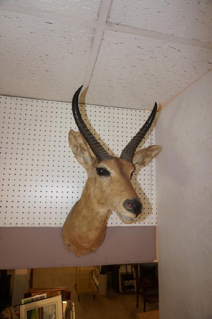 Small Head Shoulder Gazelle Trophy Mount. Curved