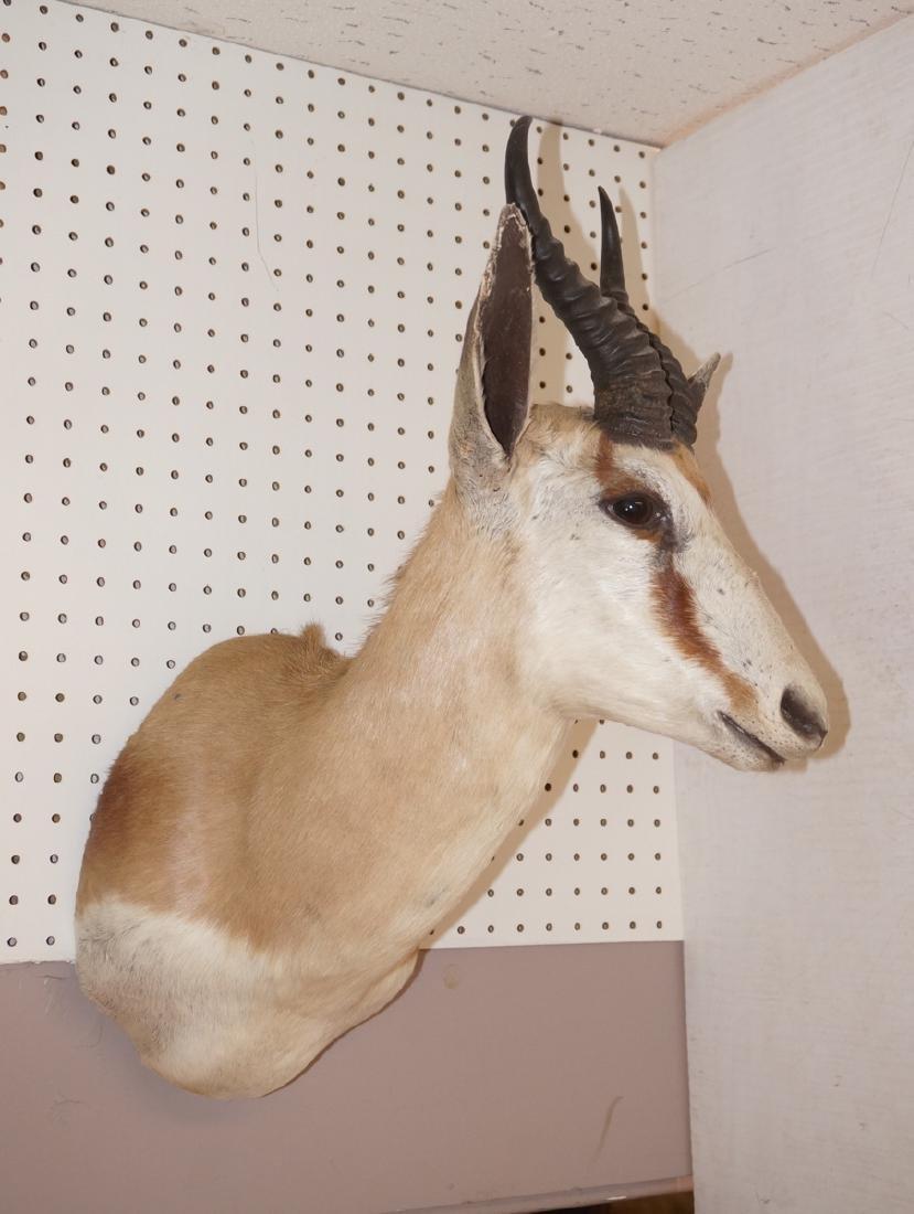Small Gazelle Head Shoulder  Trophy Mount. White