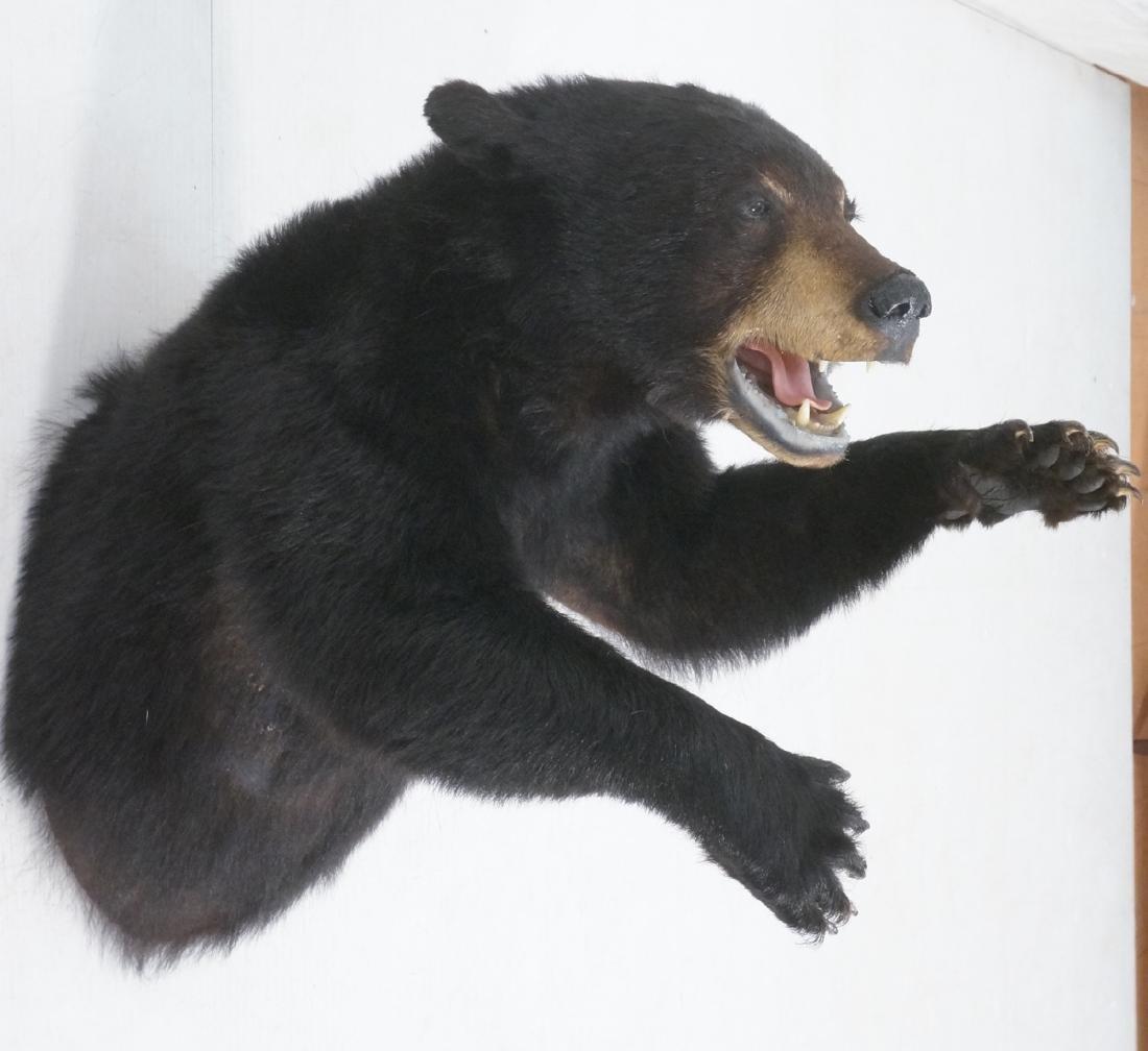 Large Taxidermy Black Bear.  Shoulder Mount.