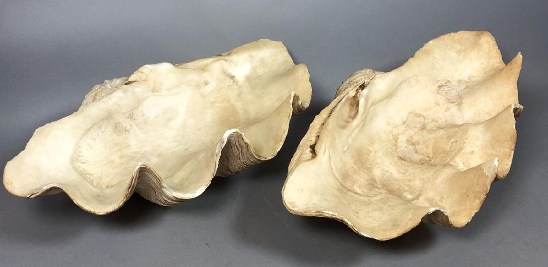 Pr Large Ocean Clam Sea Shells. Scalloped rimmed