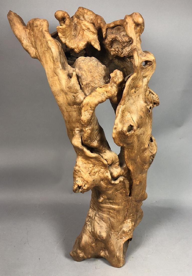 Natural Tree Burl Specimen Sculpture. Large biomo