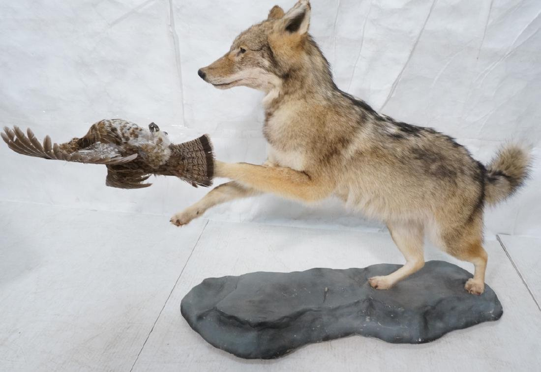 Full Body Coyote Taxidermy Mount with Bird. Coyot
