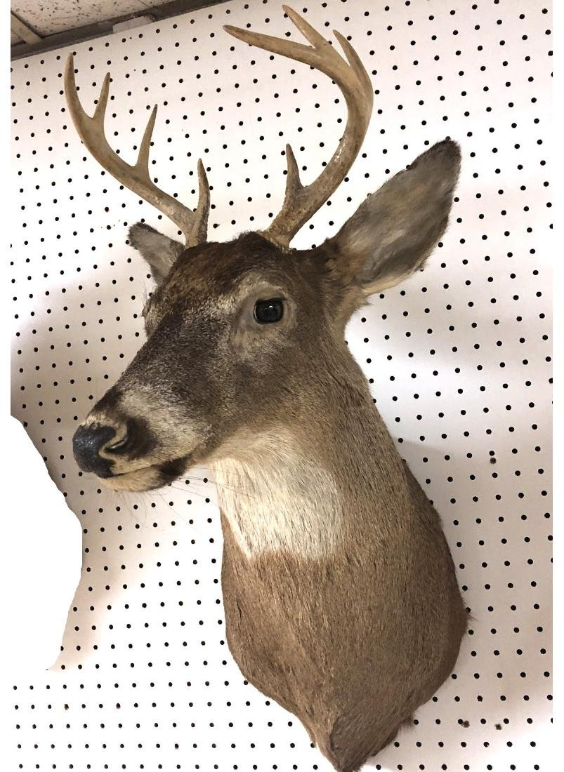 8 Point DEER Shoulder Head Taxidermy Mount.