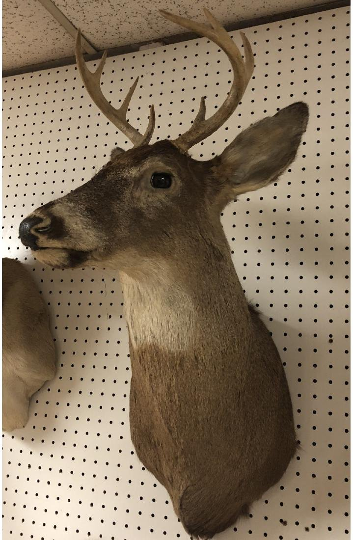 8 Point DEER Shoulder Head Taxidermy Mount. - 2