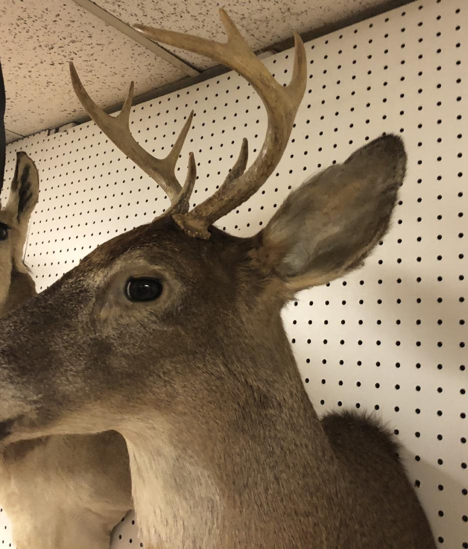 8 Point DEER Shoulder Head Taxidermy Mount. - 3