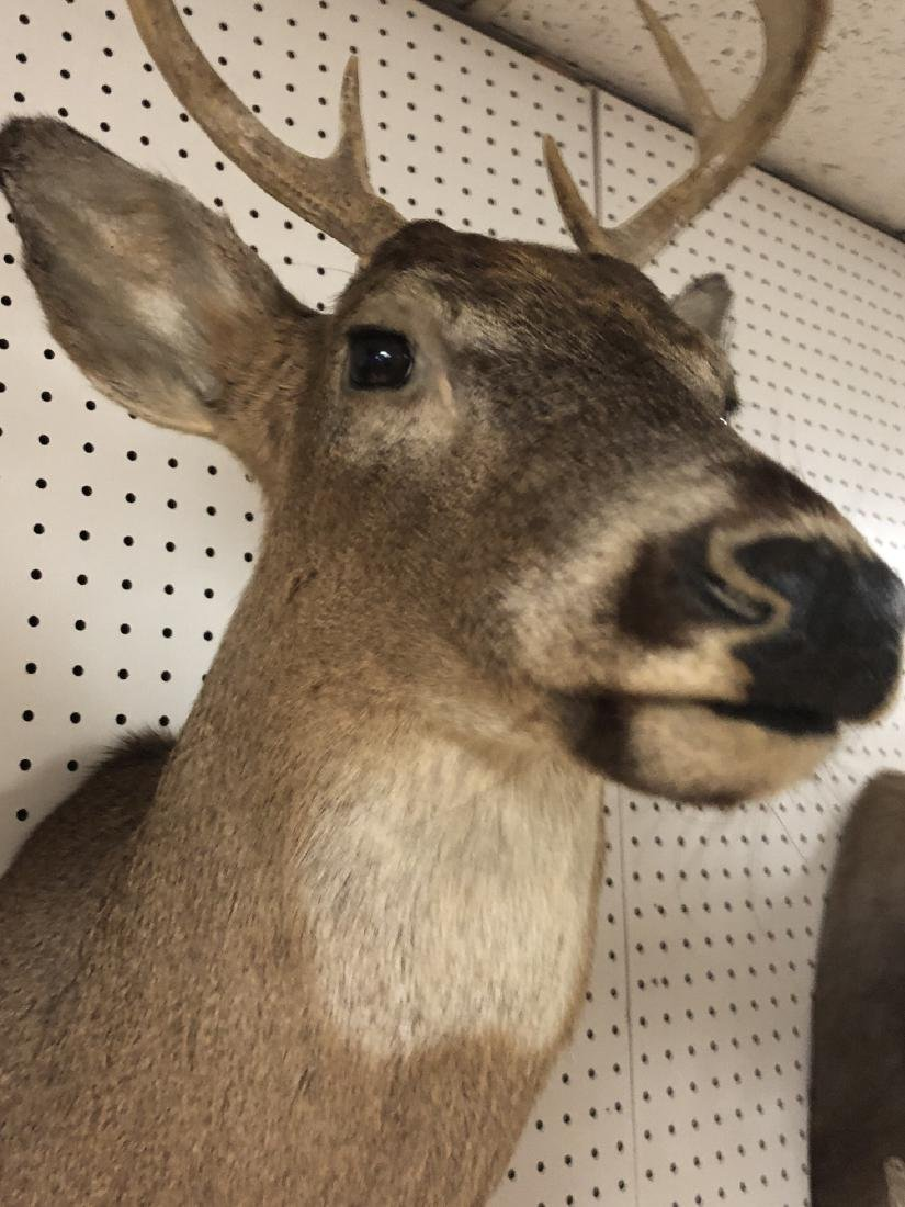 8 Point DEER Shoulder Head Taxidermy Mount. - 6