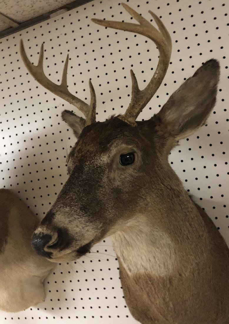 8 Point DEER Shoulder Head Taxidermy Mount. - 8