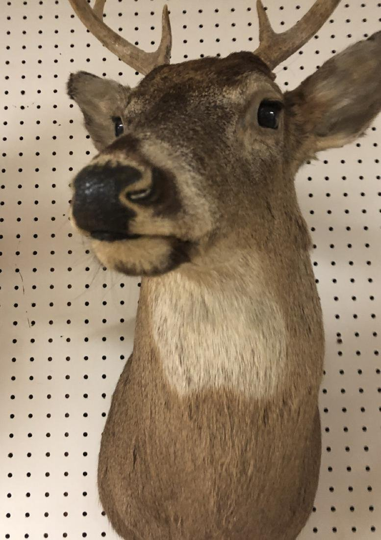 8 Point DEER Shoulder Head Taxidermy Mount. - 9