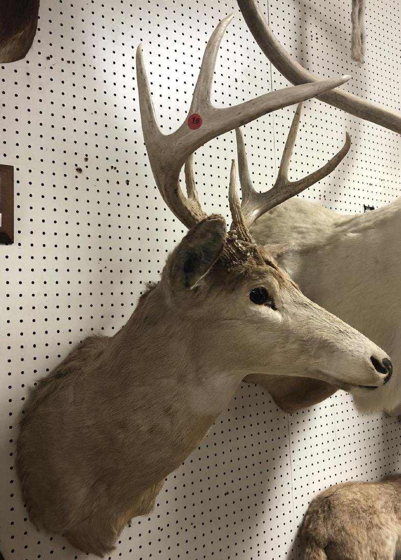 8 Point DEER SHOULDER MOUNT Taxidermy. Four Point
