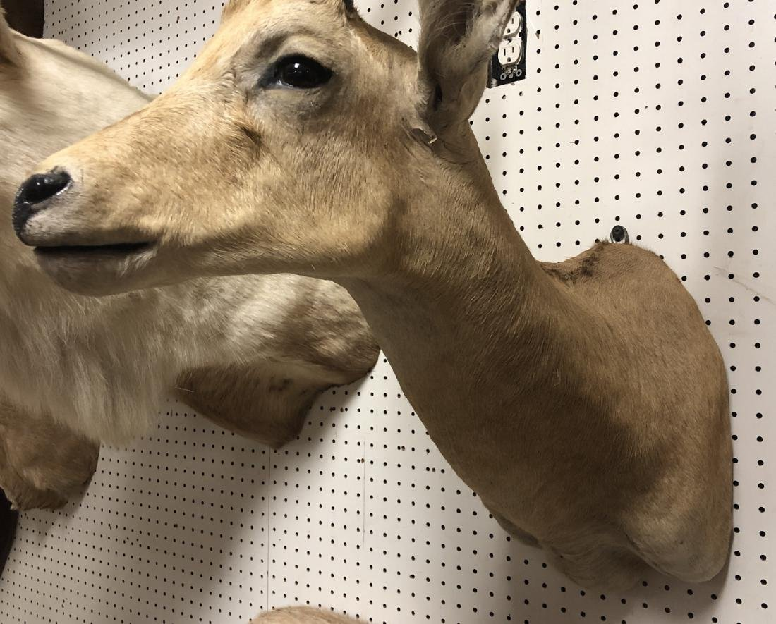 AFRICAN LECHWE Shoulder Head Taxidermy Mount. - 3