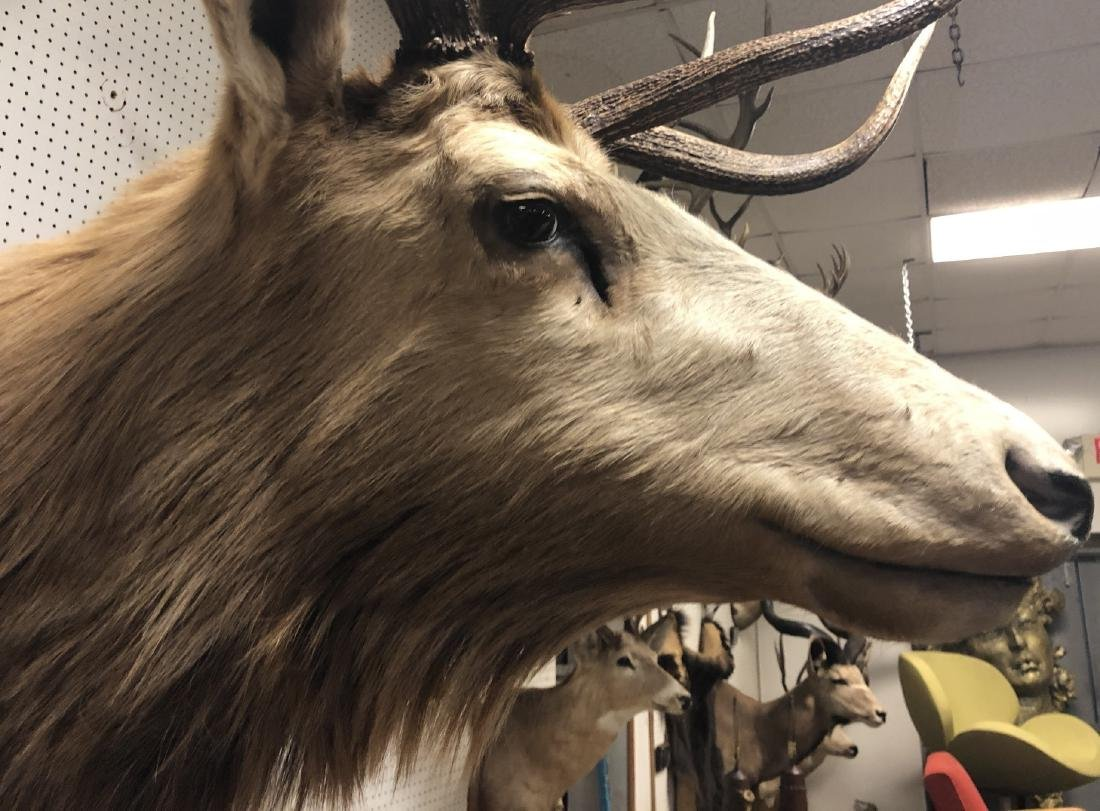 Extremely Large ELK Shoulder Mount Taxidermy. Six - 2