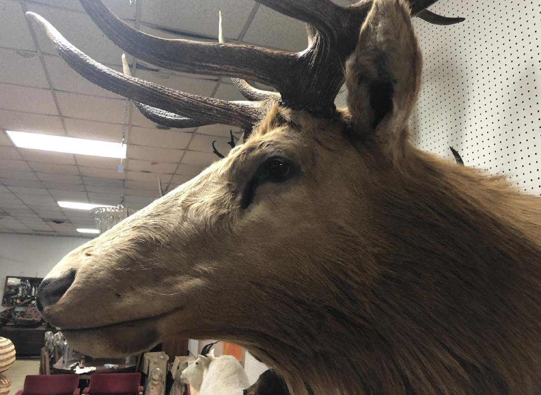 Extremely Large ELK Shoulder Mount Taxidermy. Six - 3