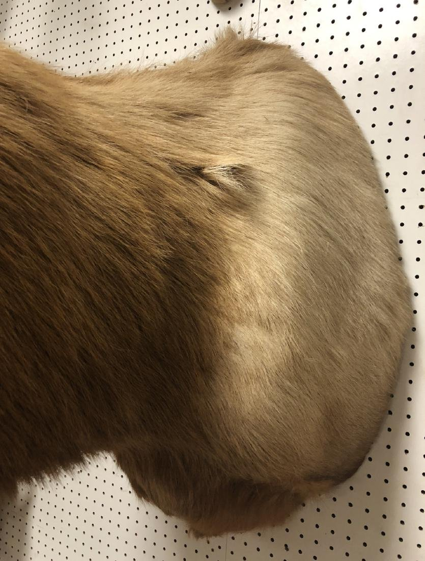 Extremely Large ELK Shoulder Mount Taxidermy. Six - 5