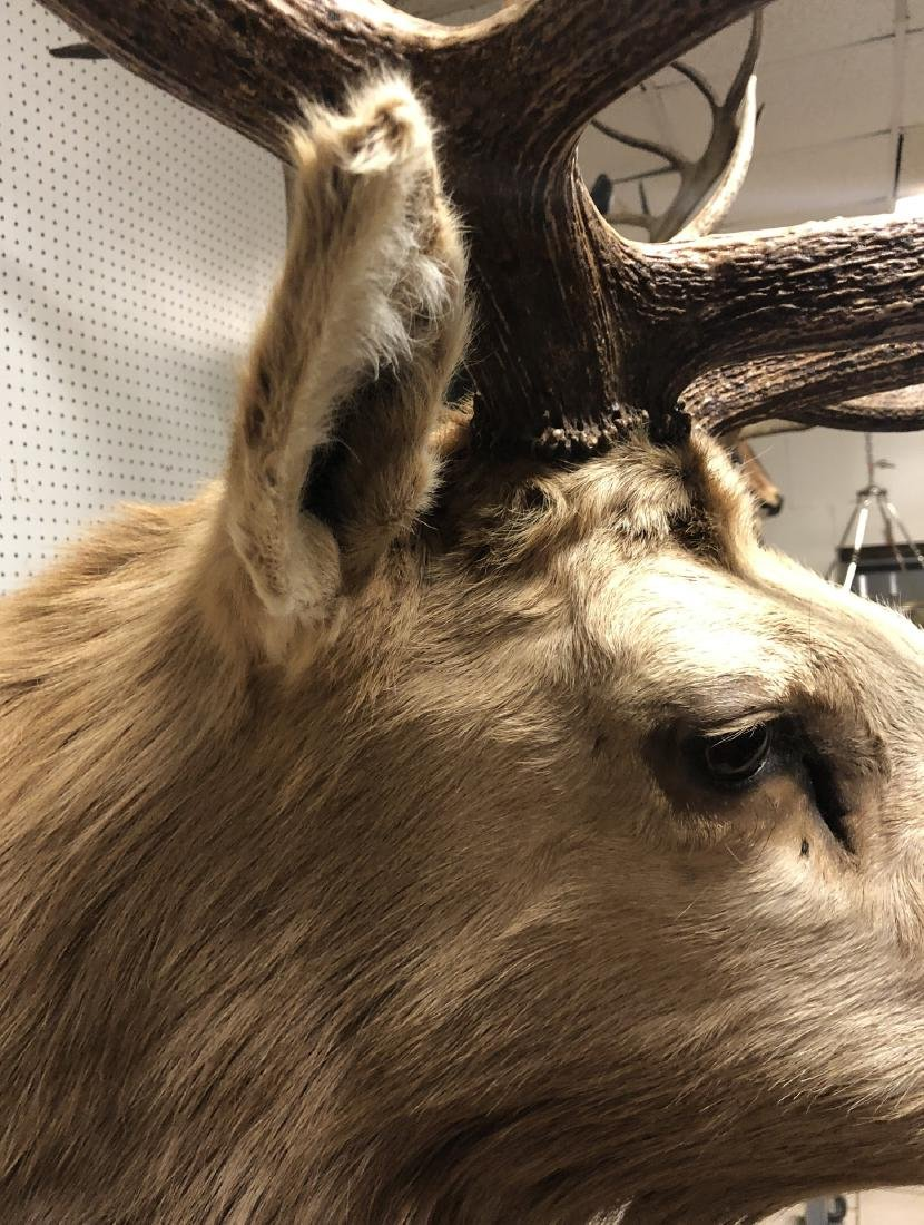 Extremely Large ELK Shoulder Mount Taxidermy. Six - 7
