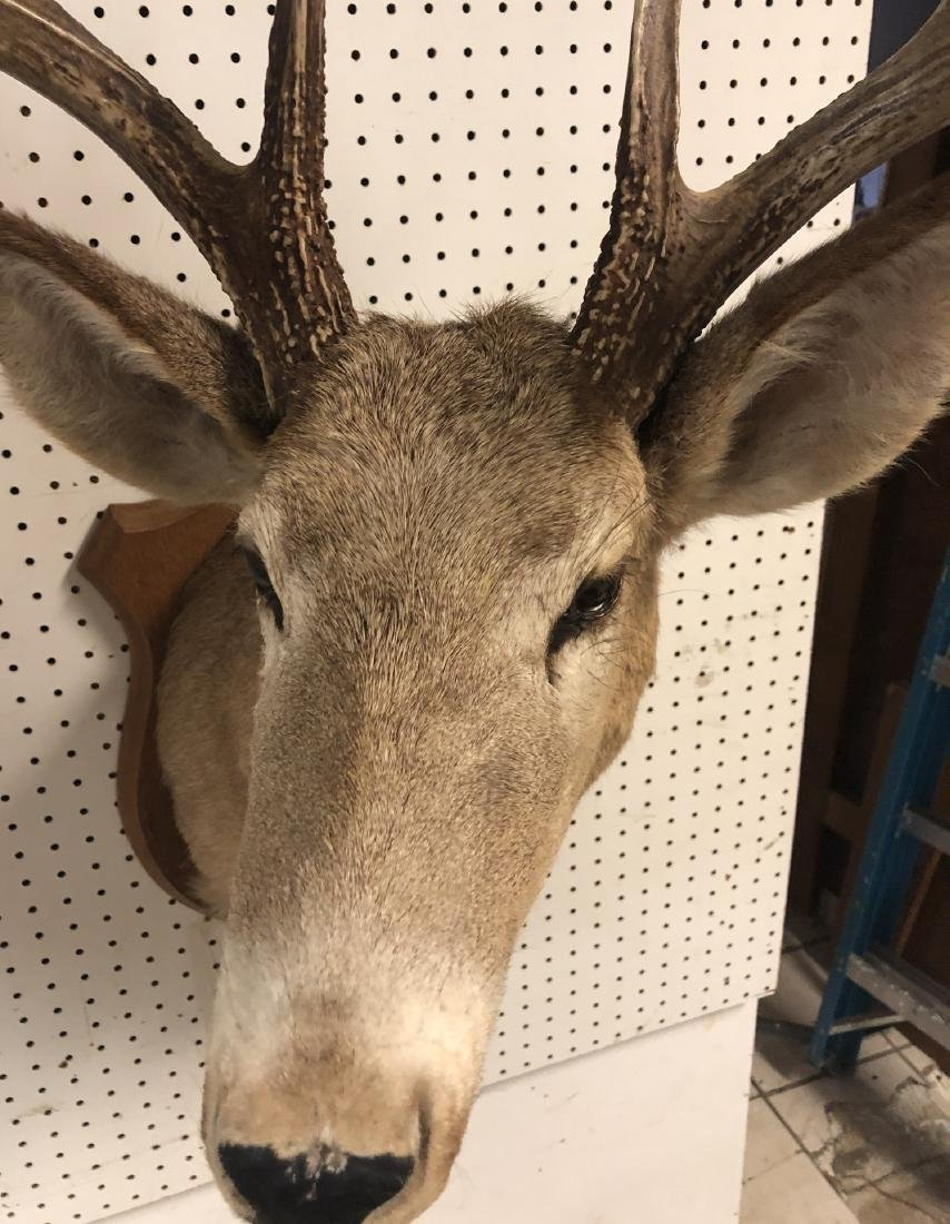 8 Point Deer Shoulder Head Mount. Marked on back: - 3