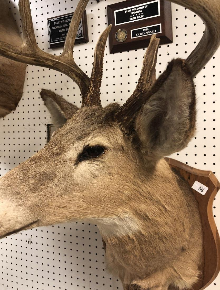 8 Point Deer Shoulder Head Mount. Marked on back: - 5