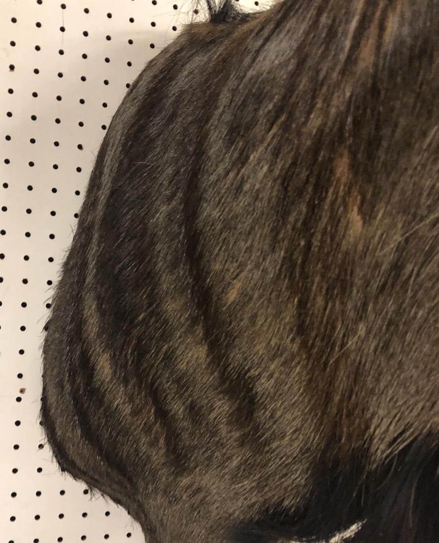 Large BLUE WILDEBEEST Shoulder & Head Taxidermy M - 9