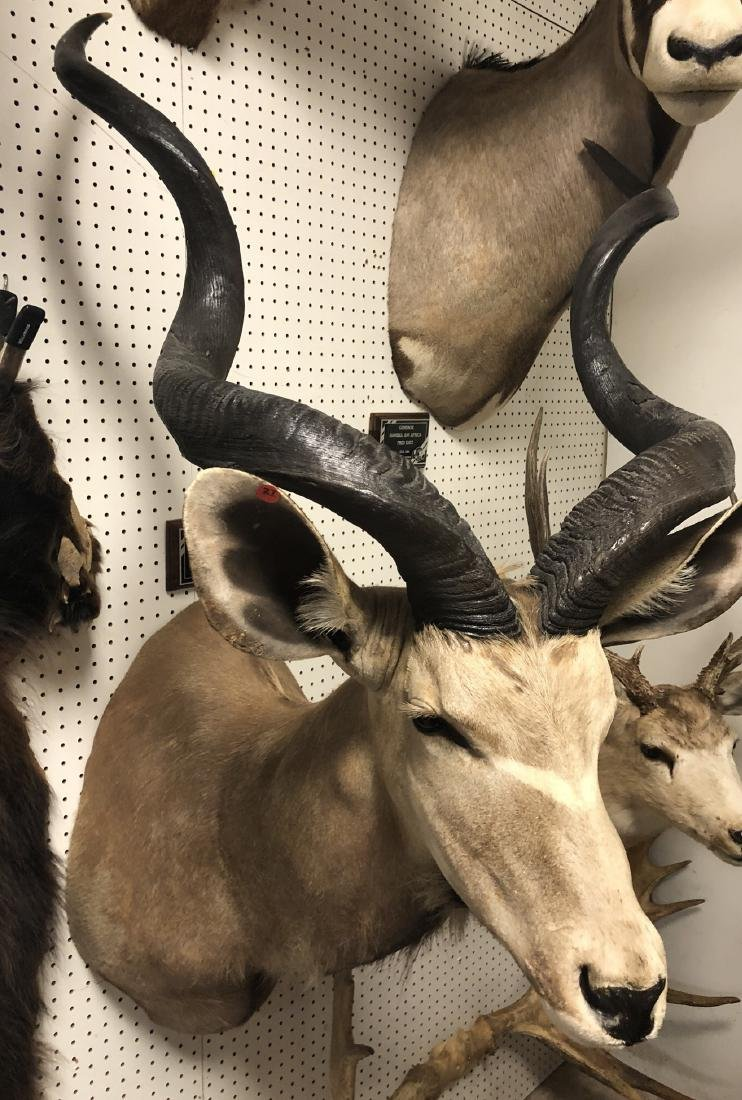 Large KUDU Shoulder & Head Mount Taxidermy.