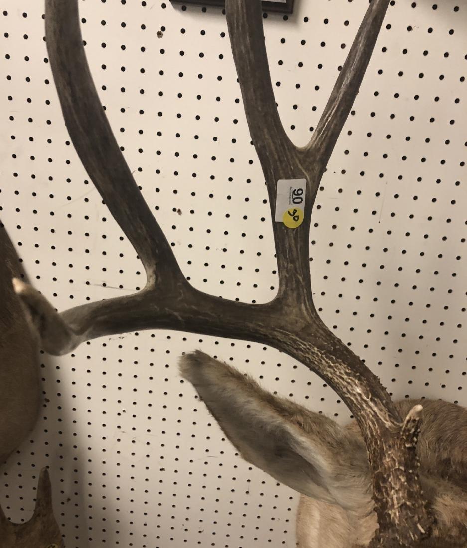 10 Point  MULE DEER Shoulder Head Trophy Taxiderm - 3