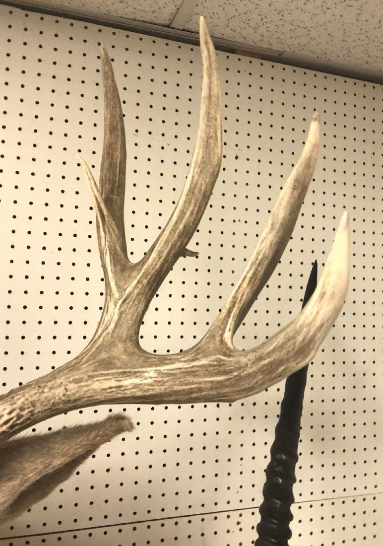 11 Point MULE DEER Shoulder Head Trophy Taxidermy - 5
