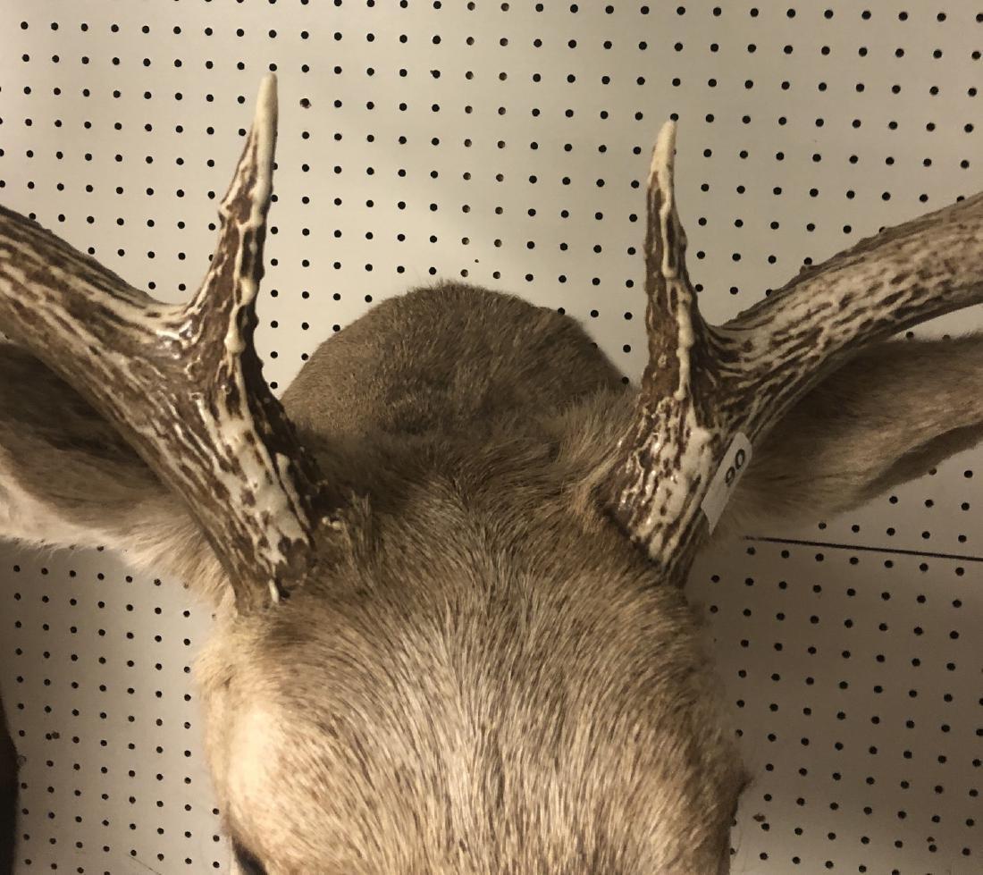 11 Point MULE DEER Shoulder Head Trophy Taxidermy - 6