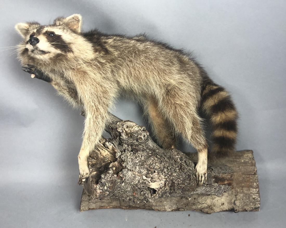 Full Body RACCOON Taxidermy Mount. Raccoon on tre